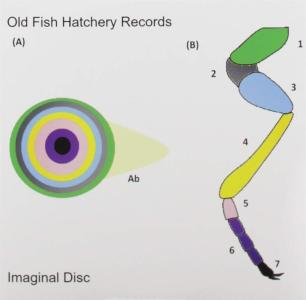 Old Fish Hatchery Records - Imaginal Disc